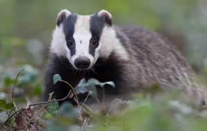 Badger in the undergrowth
