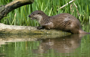 Otter sitting on the riverbank