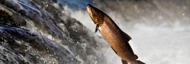 Salmon jumping up river