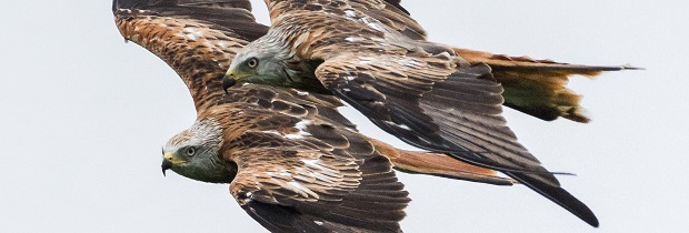Two Red Kites